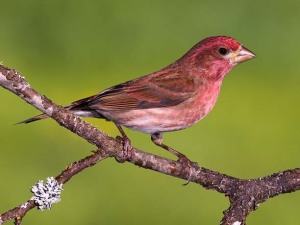 The range of the Purple Finch has moved an estimated 433 miles northward.